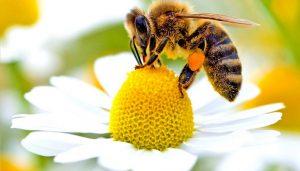 abelha-cera-mel
